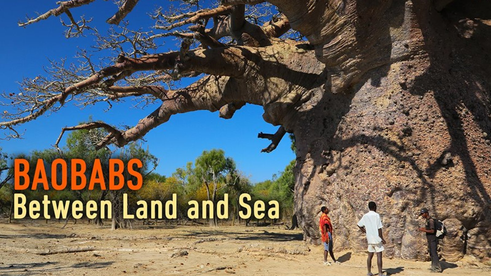 Baobabs - Between Land and Sea