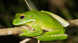 Frogs: The Thin Green Line - Endangered Frog Species