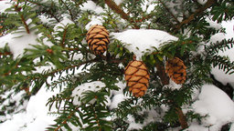 Why Conifers Are Holiday Plants